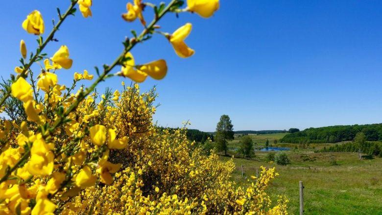 ajoncs en fleur sur le PNR de Millevaches en Limousin / © Pascal Coussy / France Télévisions