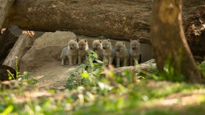 La famille des loups arctiques s'est agrandie avec la naissance de six louveteaux / © Document remis