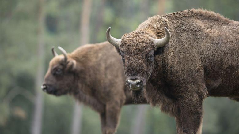 Une grande variétés d'espèces, ici le bison d'Europe, sont présentées au parc animalier / © Document remis
