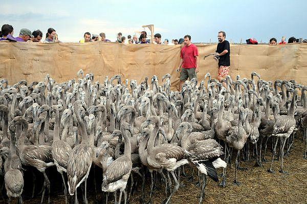 Baguage des jeunes flamants encore gris, en 2020 à Aigues-Mortes.